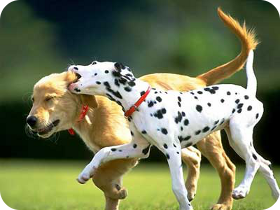 retriever and dalmation playing in field