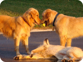 Golden retriever pack playing